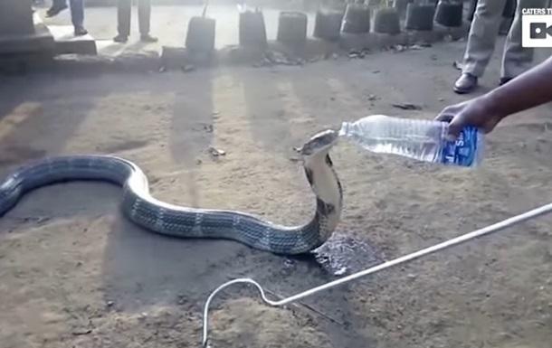 Изнывающую отжажды кобру напоили водой избутылки виндийской деревне