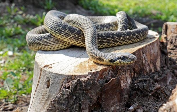 ВКиеве надетской площадке обнаружили редкую змею изКрасной книги