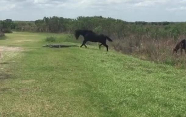ВоФлориде конь прогнал гревшегося насолнце аллигатора служайки