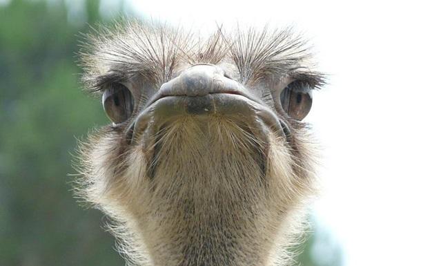 Англичане чуть неподрались из-за «гребаного страуса» наповодке