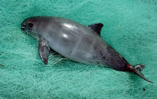 Калифорнийская морская свинья оказалась на грани вымирания