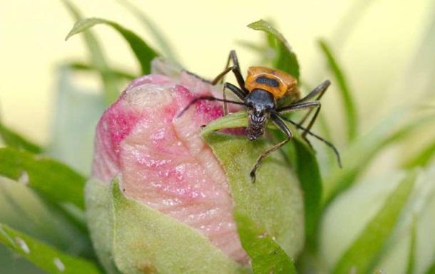 Вчені знайшли гриб-паразит, який робить з жуків зомбі