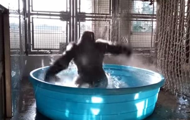 В Сети показали зажигательный танец гориллы