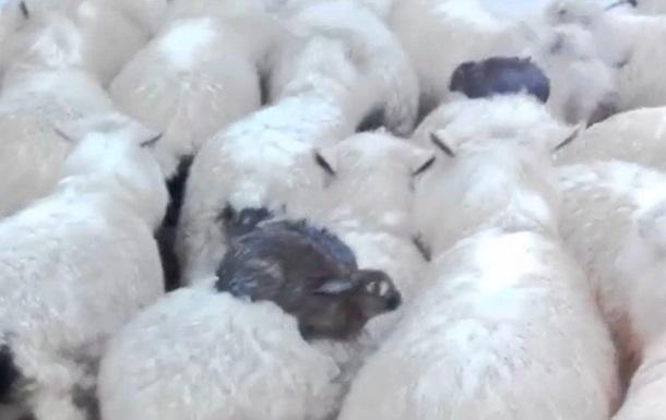 В Новой Зеландии овцы спасли кроликов