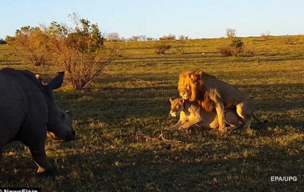 Разгневанный носорог атаковал спаривающихся львов