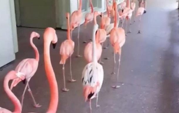 Эвакуацию фламинго из-за урагана сняли на видео