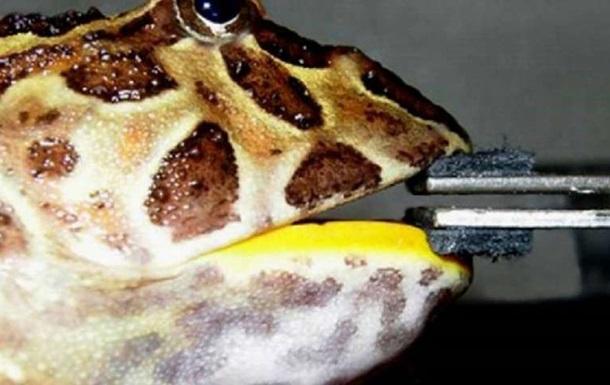 Наибольшая вистории лягушка питалась динозаврами