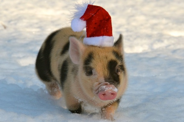 Картинки по запросу год свиньи фото