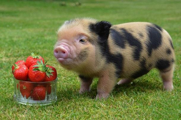 Жители КНР  встретили год Земляной свиньи