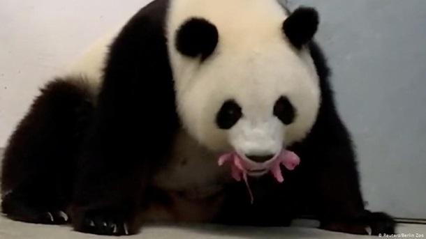 У зоопарку в Берліні вперше народилися панди-двійнята