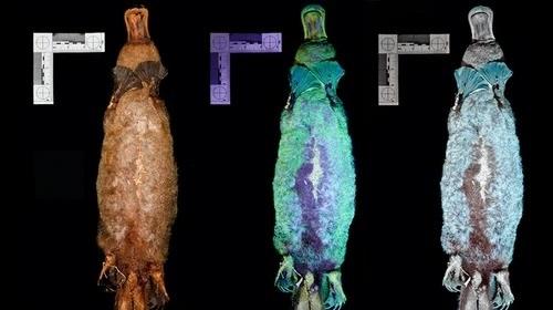 Утконосы светятся в темноте под ультрафиолетом - ученые