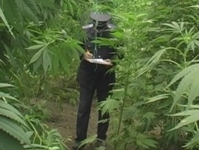 Арест с марихуаной купит траву марихуану