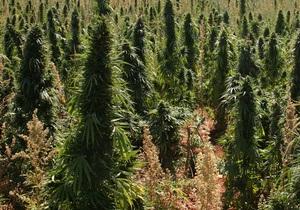 Крымская конопля фото можно ли вырастить марихуану у себя дома