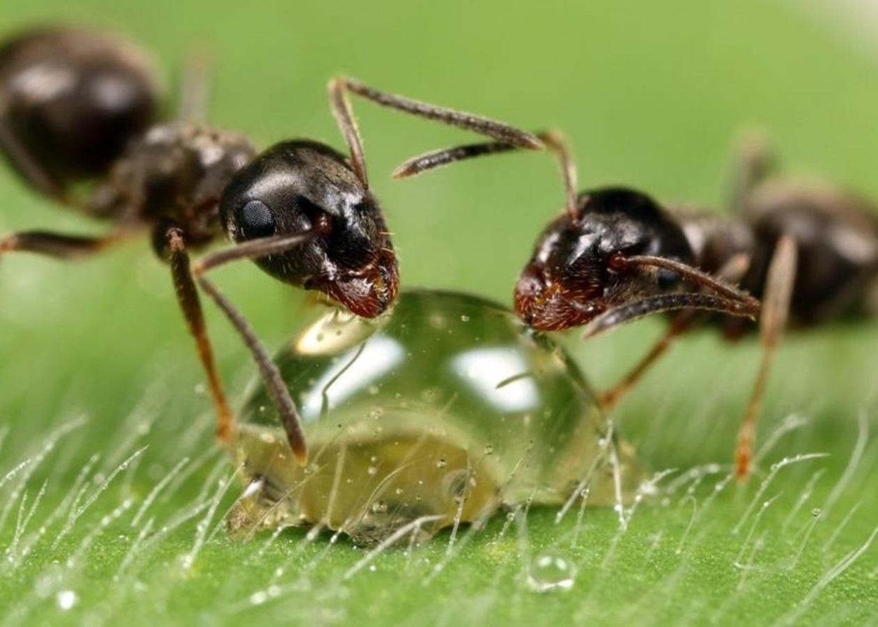 Вчені розкрили секрет логістики мурах - Korrespondent.net