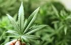 Данія легалізувала марихуану в медичних цілях