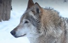 В Житомирской области волки нападают на село