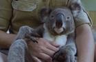 На видео показали  самую спокойную  коалу в мире