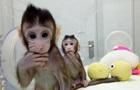 Человек на очереди. Что дает клонирование обезьян