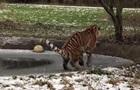 Амурський тигр невдало пройшов тонким льодом
