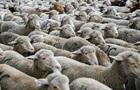 В США овцу скрестили с человеком