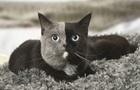 В Сети показали редкого  двуликого  кота
