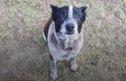В Австралии старый пес спас трехлетнюю девочку