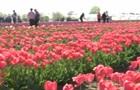 На Херсонщині розкрились 300 тисяч тюльпанів