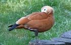 У російському зоопарку застрелили рідкісну качку