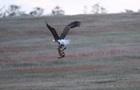 У США зняли на відео сутичку орлана і лисиці