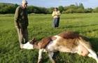 На Прикарпатті масове отруєння корів
