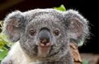 В Австралии коала нашла удочку и  решила рыбачить