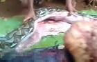 В Индонезии гигантский питон проглотил женщину