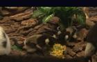 В китайском сафари-парке родилась тройня лемуров