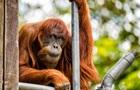 В Австралії помер найстаріший у світі орангутанг