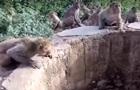 В Індії мавпи допомогли врятувати леопарда