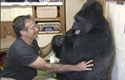 Померла 46-річна горила Коко з людським IQ