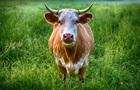 Через спеку коровам в Швеції дозволили купатися на нудистському пляжі