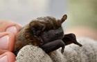 У Чорнобильській зоні знайшли рідкісних кажанів