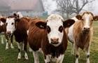 У Швейцарії фермери хочуть зменшити розміри своїх корів