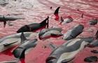 Бійню дельфінів на Фарерах зняли на відео