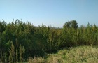 У Черкаській області знищили 60 тисяч кущів марихуани