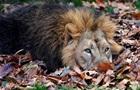Левиця жорстоко загризла лева-батька її дитинчат