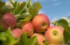 Німецька ферма безкоштовно роздала 30 тонн яблук