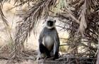 В Индии обезьяна украла и убила новорожденного