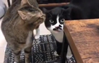 Кіт  заспівав  грузинські пісні і прославився в Мережі