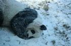 Панда радіє снігу: веселе відео із США