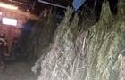 У Чернігівській області поліція вилучила центнер конопель