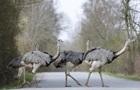 На півночі ФРН стрімко розплодилися екзотичні гігантські птахи