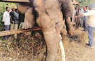 Слон задихнувся, застрягши на фермерському паркані