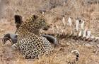 В Індії леопард-людожер поцупив трирічну дитину
